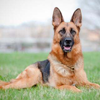 German Shepherd dogs and puppies for sale Miami