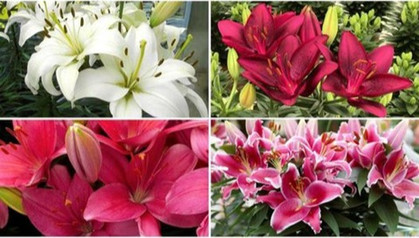 12-piece Lily Collection just $28.50 (Reg $40)
