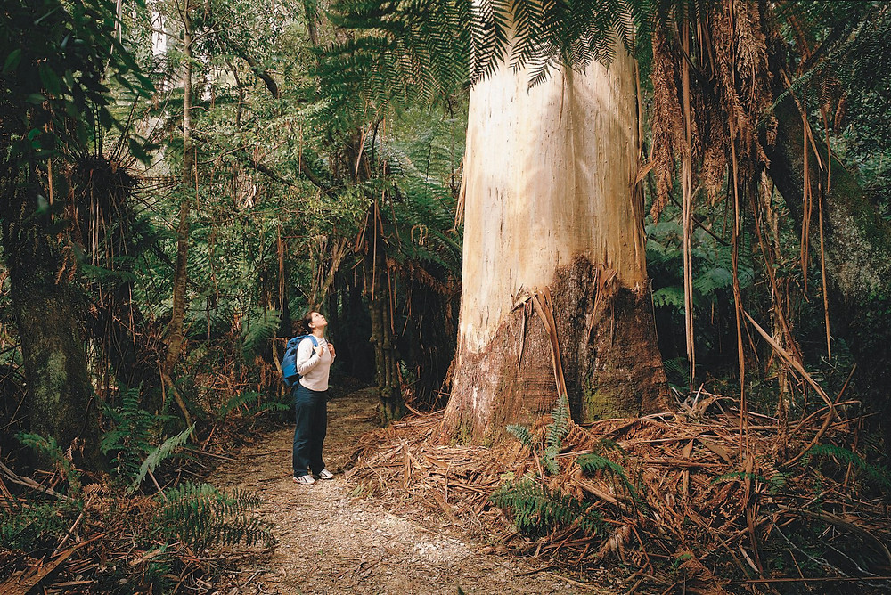 Towering White Knights - the tallest white gums on earth - at Evercreech Forest Reserve