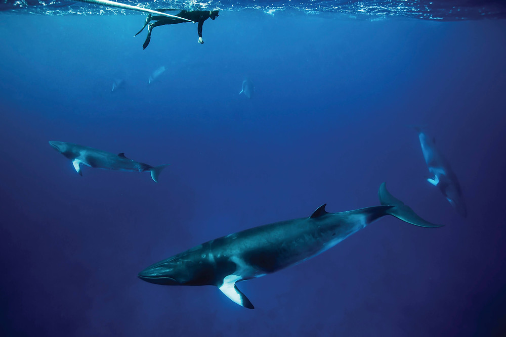Magical! Swimming with elusive dwarf minke whales can be done only in Australia