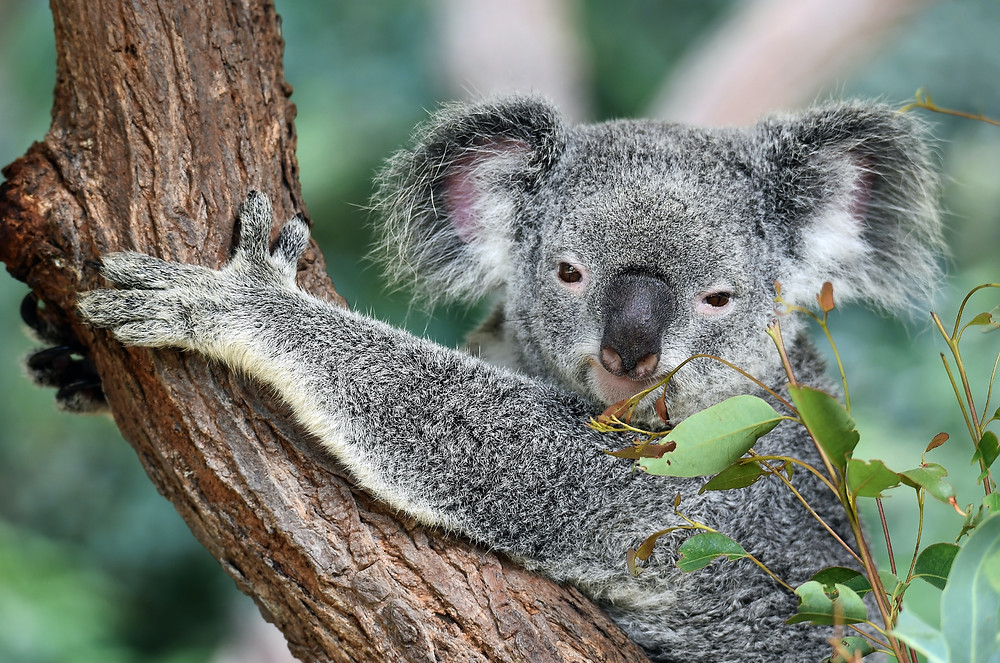 In Australia, you can meet species found nowhere else on earth, including the koala