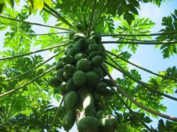 Papaya Tree (Mexican)