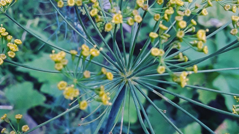 Dill, Bouquet