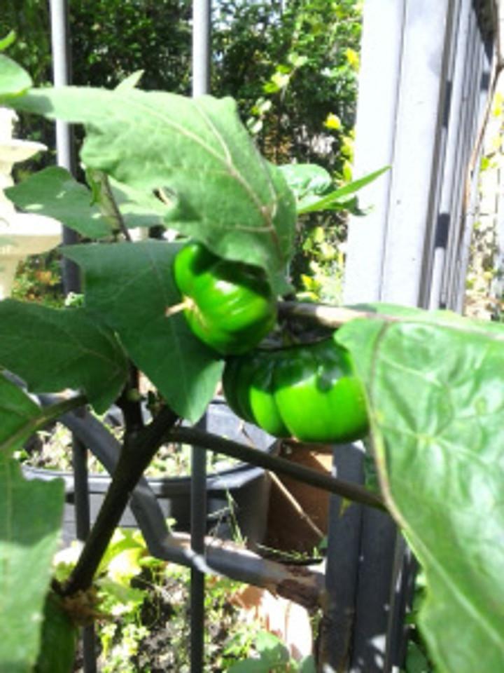 canibal's tomato
