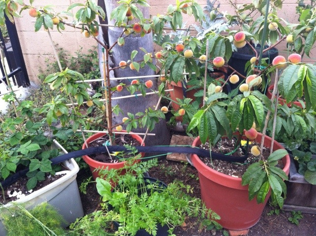 Image result for fruit trees in containers urban