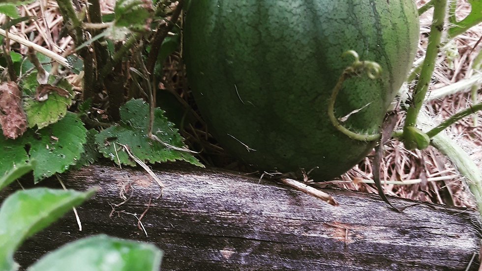 Watermelon, Sugar Baby