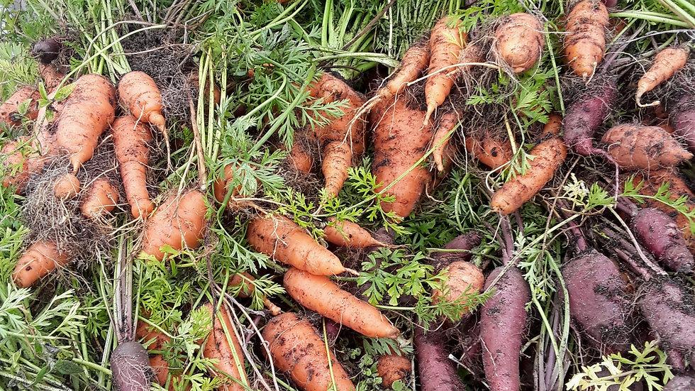 Carrot, Cosmic Purple