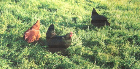 Free Range Eggs from Ponderosa Farm Mittagong