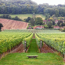 Hambledon%20Vineyard_edited.jpg