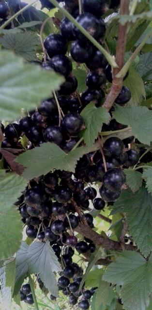 ягоды для детского компота