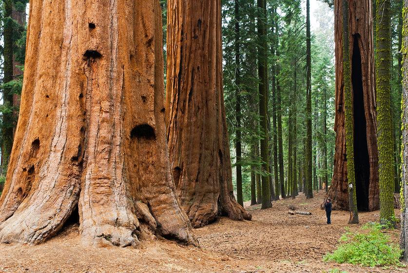 Giant Sequoia, Sequoia NP.jpg