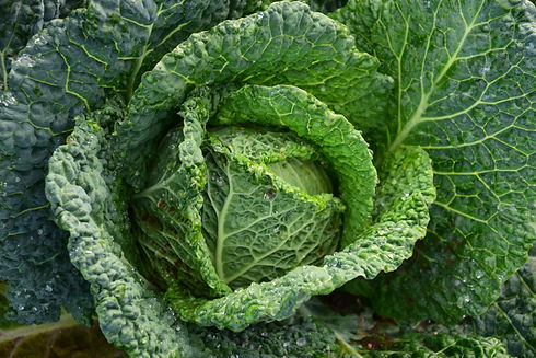 agriculture-cabbage-close-up-209482.jpg