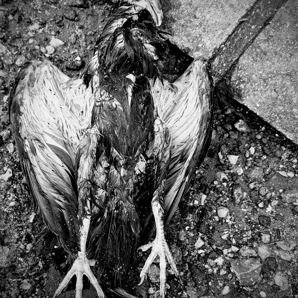 Bird Carcass in London
