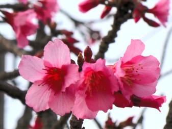 カンヒザクラが咲き始めました