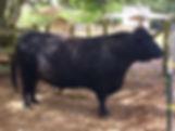 Black Bull Ranch Lowline herd sire Apollo Neron