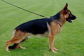 Montana German Shepherd