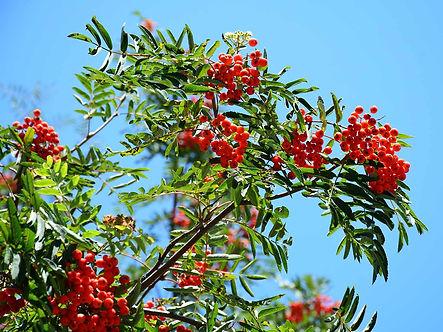rowan-tree-branch-closeup.jpg