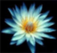 Healing Blue Lotus