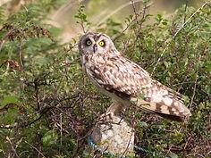 Short Eared owl_edited.jpg