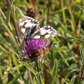 Marbled White Butterby on knapweed David Le Tall_edited.jpg