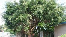 Contrôler la croissance des arbres en Nouvelle-Calédonie
