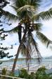 Élaguer cocotier / Purger cocotier en Nouvelle-Calédonie