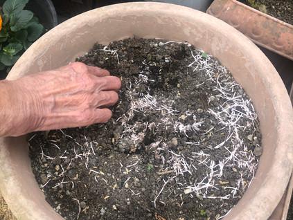 冬の園芸療法2021年度チオノドクサ編 ⑥