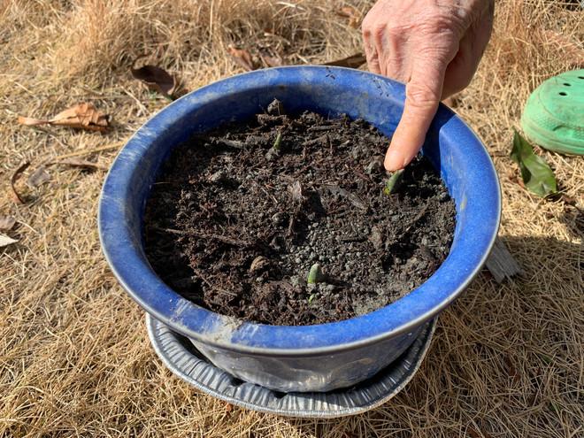 冬の園芸療法2021年度チオノドクサ編 ⑭