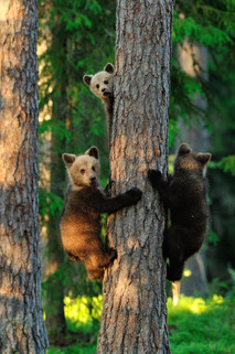 Bear cubs on a tree. Three bears. .jpg