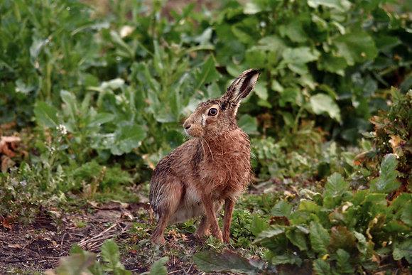 Wild Essex Hare 800DPI Gloss Print