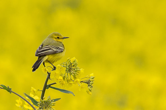 Yellow Wagtail 800DPI Gloss Print