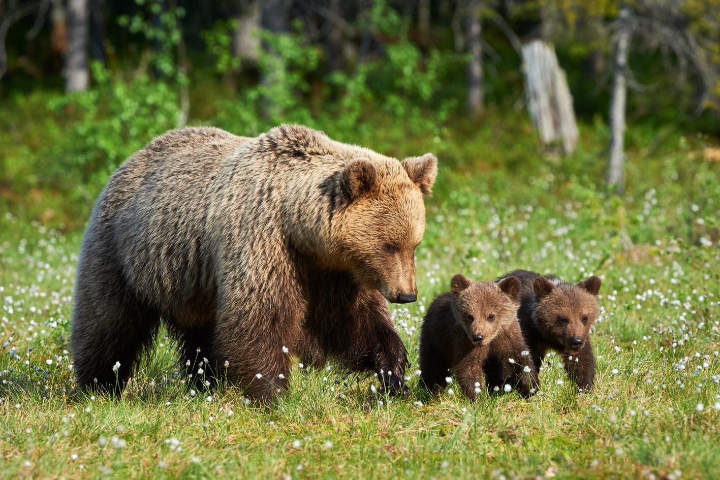 Mother bear walking in Finnish taiga wit