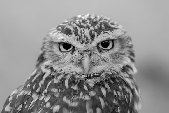 B&W Little Owl 800DPI Gloss Print