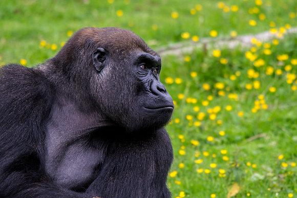 Lowland Gorilla Portrait 800DPI Gloss Print