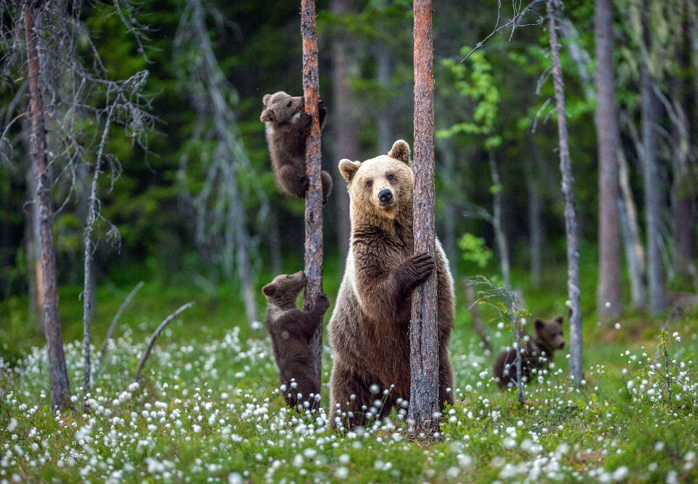 She-bear and bear cubs in the summer for