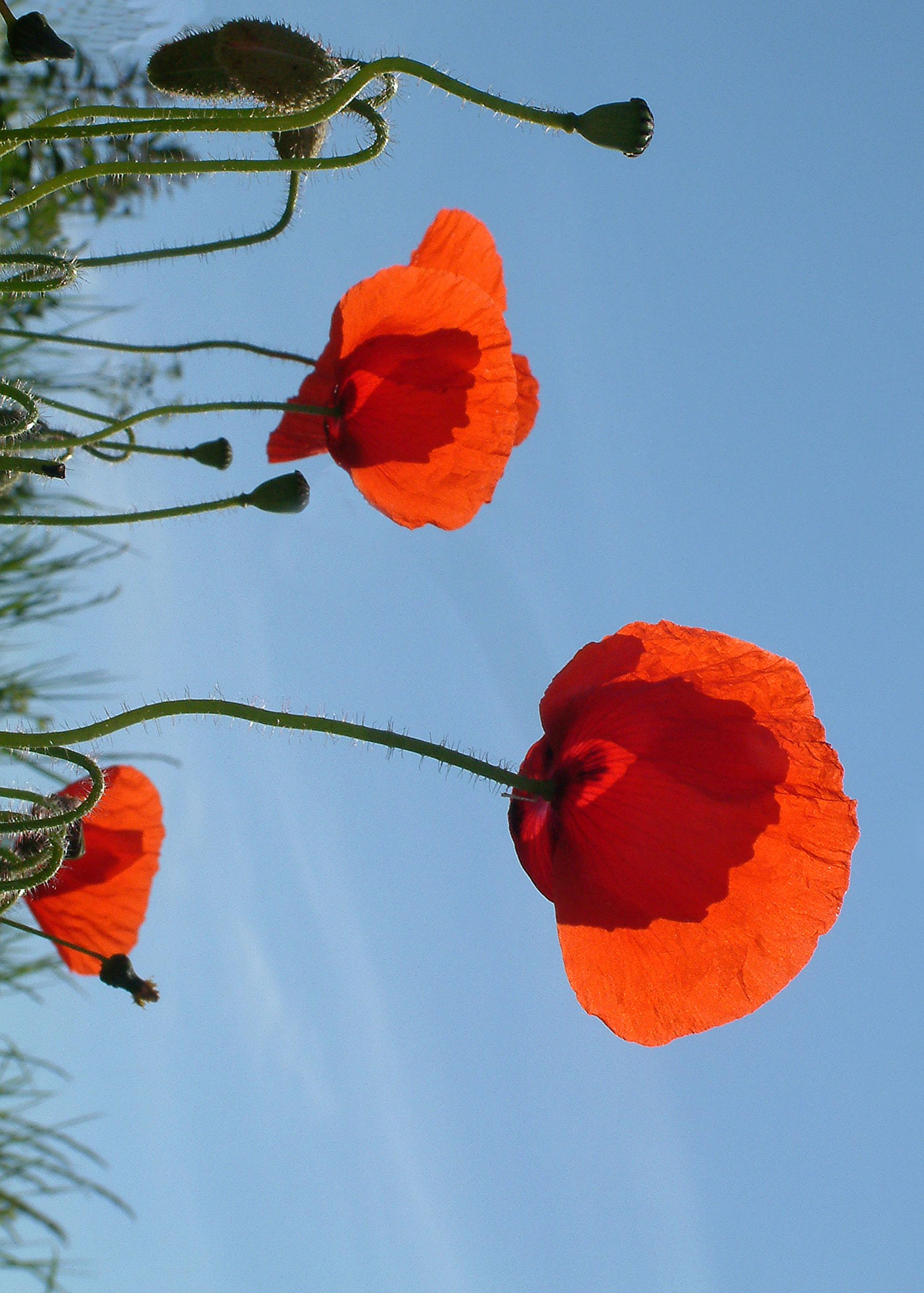 poppies 09-07