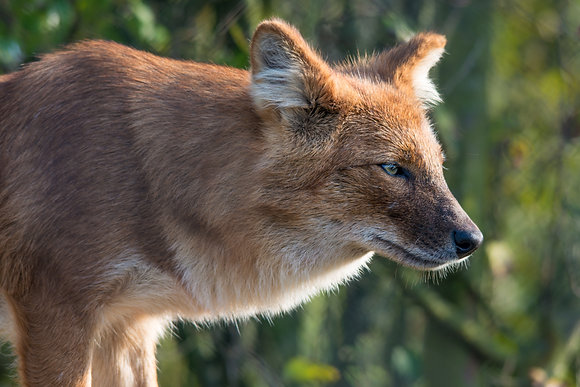 Fox Portrait 800DPI Gloss Print