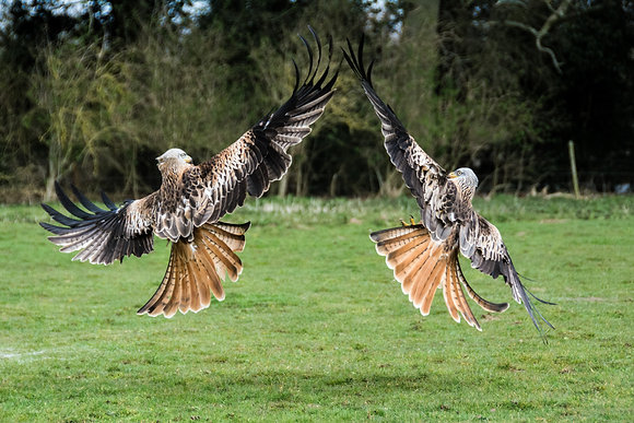 Red Kites Symmetry - 800DPI Gloss Print