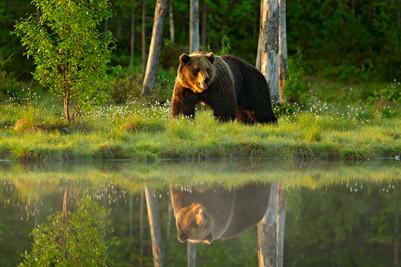 Big brown bear walking around lake in th