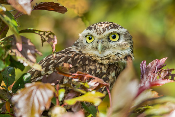 Little Owl 800DPI Gloss Print