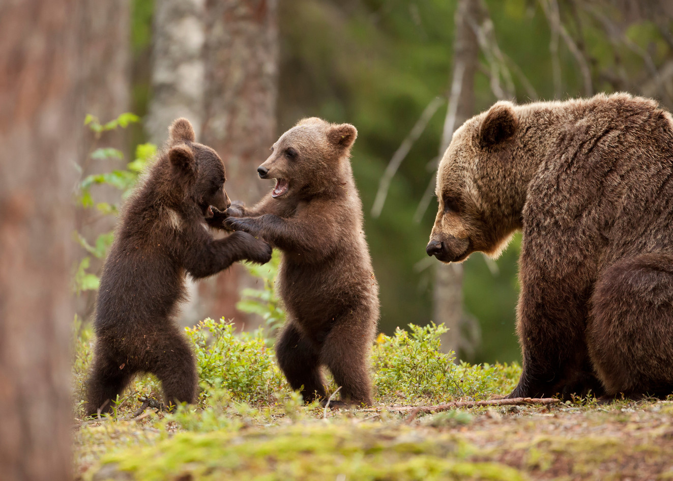 Eurasian brown bear (Ursos arctos) femal