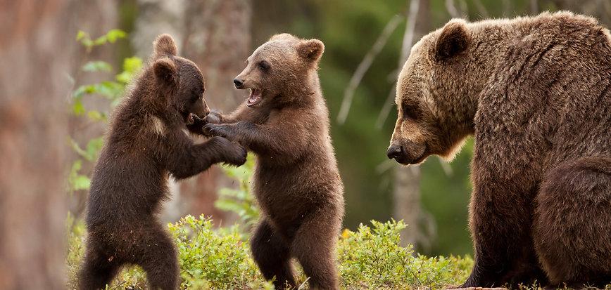 Finland Brown Bears & Cubs Workshop Deposit