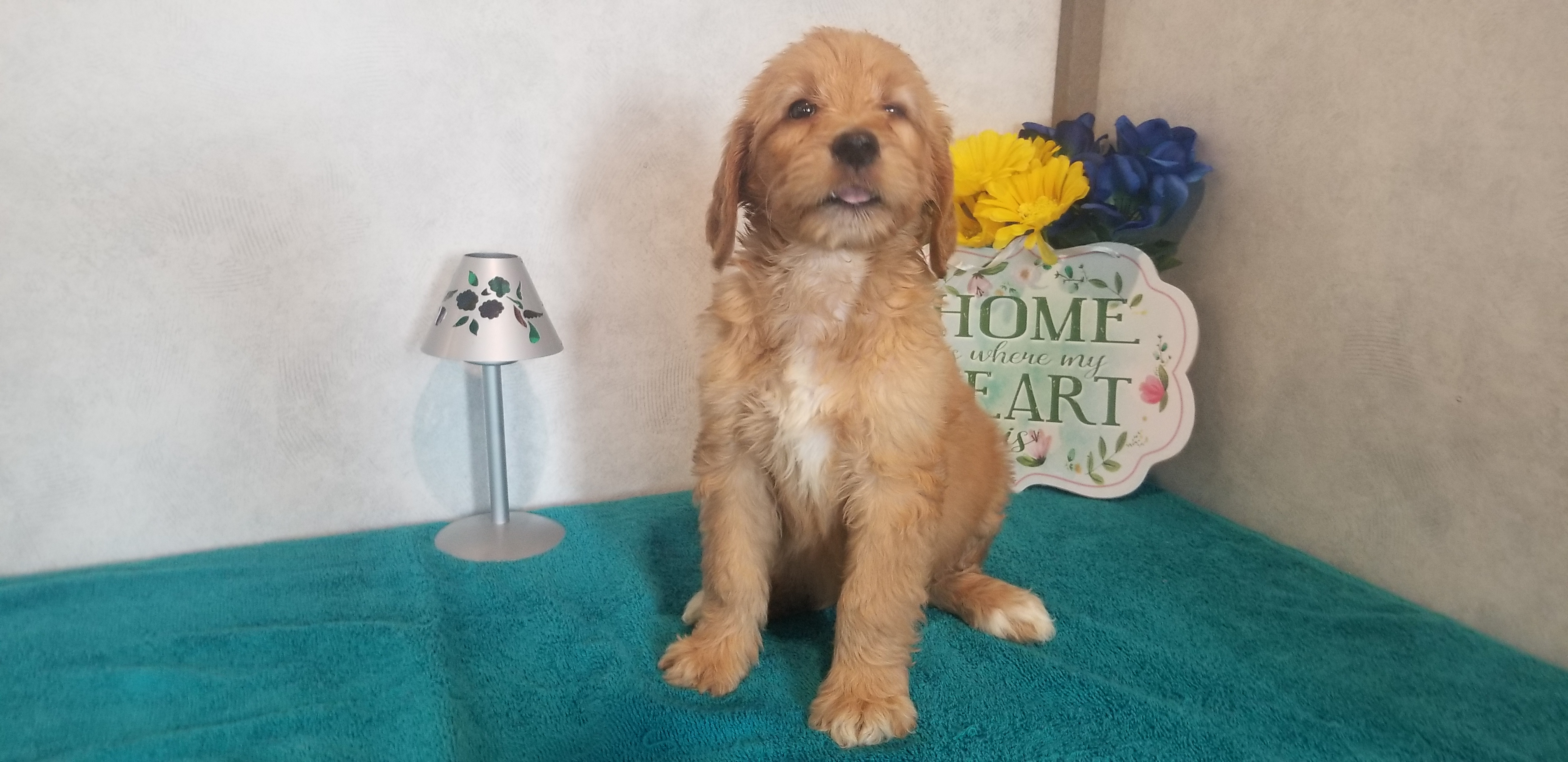 Four Corner Puppies - goldendoodles for sale, Fort Wayne, IN
