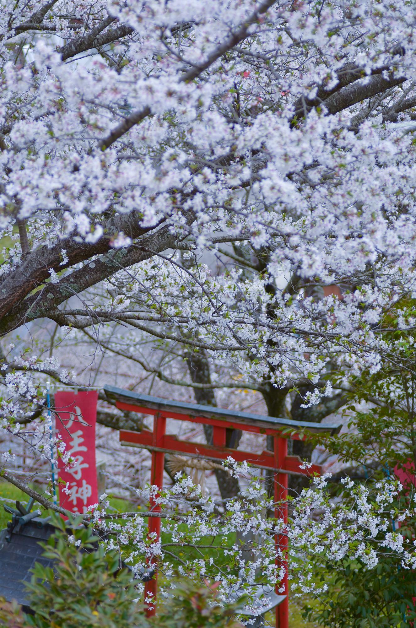 奥之院の桜は見事なものです。