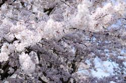 奥之院の桜