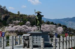 境内から見る桜