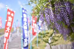 五月になると桜に変わり見事な藤の花もご覧頂けます。
