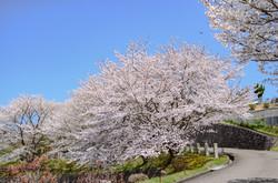 本堂に通じる桜並木