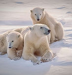 57670266f5_121208_ours-blanc-polaire.jpg