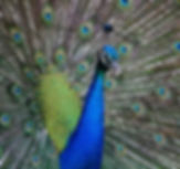 peacock-2201428_960_720.jpg